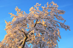 Tree tops with snow Stock Image