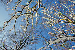 Tree tops in snow Royalty Free Stock Photography