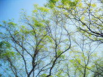 Tree tops at spring. Vivid tree tops, branches, and new leaves emerging at spring. Shades of green, blue, and brown stock photo
