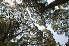 Tree tops. View of a forest canopy looking directly up stock image
