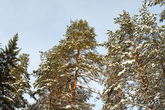 Tree tops of winter forest with snow Stock Image