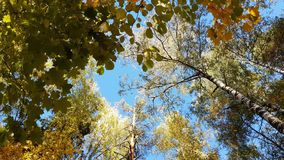 Tree tops with yellow foliage against blue sky. Tree tops with yellow foliage against a blue sky stock footage