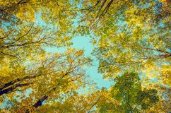 Tree tops with yellow leaves on a clear autumn day against stock photo