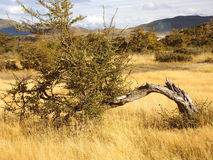 Tree in the Torres del Paine Park. Stock Images