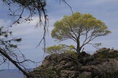Tree in the Tramuntana Mallorca Royalty Free Stock Photography