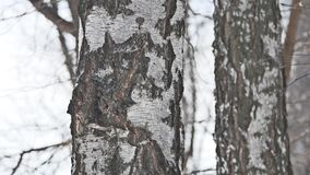 Tree tree birch winter close-up russia nature the landscape traditions outdoors. Tree tree birch winter close-up russia nature landscape traditions outdoors stock footage