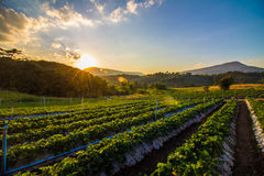 Strawberry Farm in the evening. Beautiful orange sky overlooking the mountains and trees Stock Photography