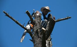 Tree Trimmer atop a tree overlooking San Francisco Suburb Stock Photo