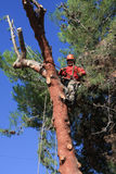 Tree trimmer climbed a pine tree Stock Images