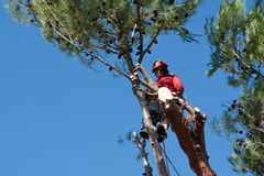 Tree trimmer cutting down pine tree stock image