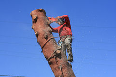 Tree trimmer cutting down pine tree Royalty Free Stock Photography