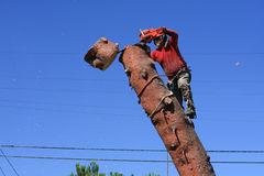 Tree trimmer cutting down pine tree Stock Photo