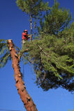 Tree trimmer cutting down pine tree royalty free stock photos