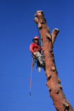 Tree trimmer hanging on pine tree Royalty Free Stock Image