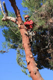 Tree trimmer on hooks in pine tree Stock Photo