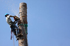 Tree Trimmers. Climbing to the top of a pine tree to topple with a chainsaw. Tree trimming dangerous jobs series Royalty Free Stock Image