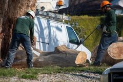 Free Tree Trimmers From Artist Tree Service Work Together To Dismantle A Large Tree Trunk Royalty Free Stock Photo - 171167335