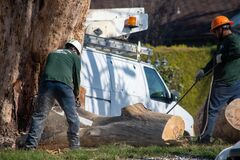 Free Tree Trimmers From Artist Tree Service Work Together To Dismantle A Large Tree Trunk Royalty Free Stock Image - 171167336