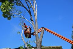 Tree trimmers removing branches high up in an Ash tree. Royalty Free Stock Images