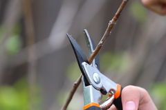 Tree Trimming. Close up view of two hands using a trimmer to trim a tree Royalty Free Stock Photography