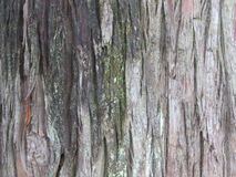 Tree trunk bark with green moss. Bark of tree backround Royalty Free Stock Image