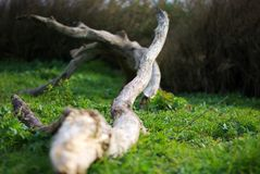 Tree tronk. Close view of a tree tronk over the grass Royalty Free Stock Photo