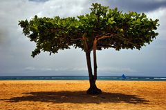 Tree on the tropical beach Royalty Free Stock Photo