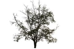 Tree silhouette isolated on white background for garden and plant decoration concept