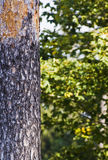 Tree trunk. With abstract forest background stock images