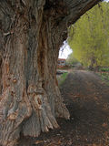 Tree Trunk. This is a Gigantic tree bordering a canal in Utah Stock Photo