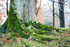 Tree trunk. With moss in autumn forest Stock Image