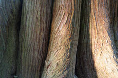 Tree trunk. Close up of ancient tree trunk stock photos