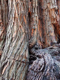 Tree Trunk. With protruding base Royalty Free Stock Photos