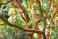 Tree trunk of Arbutus. (disambiguation) close up Royalty Free Stock Photos
