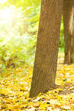Tree trunk in Autumn forest stock photography