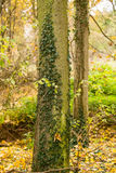 Tree trunk in autumn Royalty Free Stock Photos