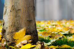 Tree trunk among autumn leaves Stock Photos
