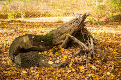 Tree trunk in autumn leaves Royalty Free Stock Image