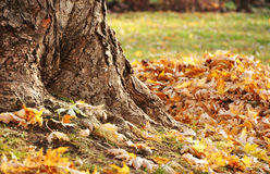 Tree trunk and autumn leaves Stock Photo