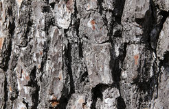 Tree trunk bark texture Stock Images