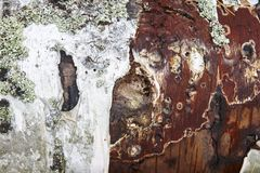 Tree trunk bark textured with lichen red wood. Nature. Background royalty free stock photography