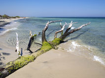 Tree trunk on the beach by the sea Royalty Free Stock Photo