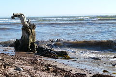 Tree  trunk on  beach. This  tree  trunk  was   swept  into  the  sea by  the  Swakop river  and  then  beached  by  the  waves Royalty Free Stock Photography
