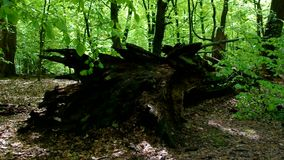 Tree trunk. In beech forest stock video