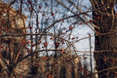 tree trunk branch red berry blue sky stock photo