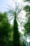 Tree trunk and branches, canopy. Tree trunk and branches, tree canopy Stock Photo