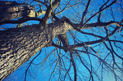 Tree Trunk and Branches. A tree trunk with its branches looking up toward the blue sky royalty free stock image