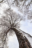 Tree trunk and branches in winter Royalty Free Stock Images