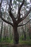 Tree trunk with branching in the forest. Under it are dry branches and green grass stock photography