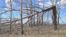 Tree trunk broken by hurricane. Tree trunk broken by strong wind or hurricane stock video